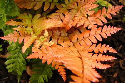 Brilliance Autumn Fern - Dryopteris erythrosora - Quart Pot
