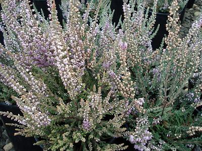 "Silver Knight Scotch Heather - Calluna vulgaris - Hardy - 2.5"" Pot"