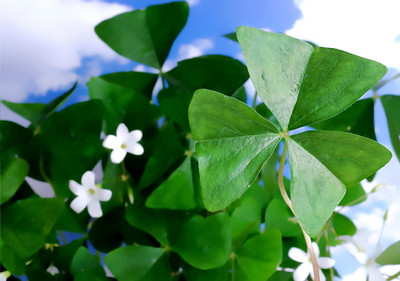 Lucky Green Shamrock 10 Bulbs - White Flowers/Edible Leaves - Oxalis regnelli
