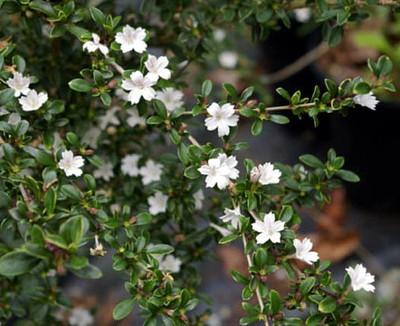 "Kyoto Snowrose Serissa Tree - 2.5"" Pot - House Plant, Fairy Garden Plant, Bonsai"