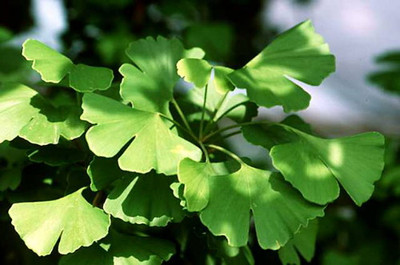 Ginkgo/Gingko biloba - Maidenhair Tree - Living Fossil Tree - Quart Pot