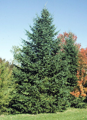 Balsam Fir - Abies balsamea x Canaan - Outdoors or Bonsai - Quart Pot
