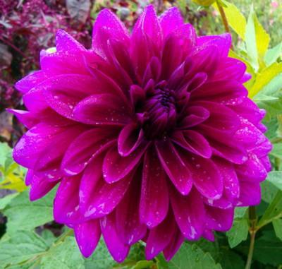 Babylon Purple Dinnerplate Dahlia 1 Top Size Root Clump - Huge