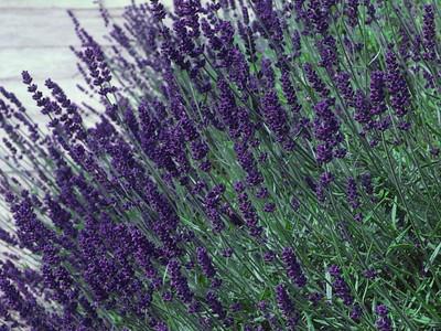 """Hidcote Blue Lavender Herb - Live Plant - 3"""" Pot"""