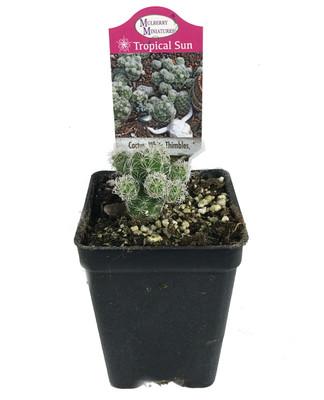"White Thimble Cactus - Cereus - Houseplant/Terrarium/Fairy Garden - 2.5"" Pot"
