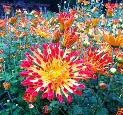 """Matchsticks Chrysanthemum - A Truly Hot Perennial - 4"""" Pot"""