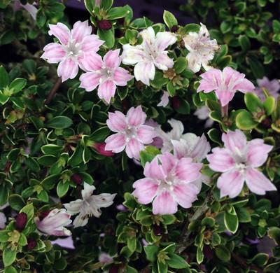 "Pink Mountain Serissa Tree - 2.5"" Pot - House Plant, Fairy Garden Plant, Bonsai"