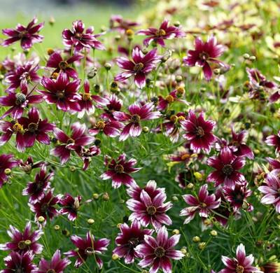 "Berry Chiffon Satin & Lace Coreopsis Perennial Plant -4"" Pot"