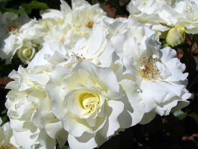 "White Meidiland® Shrub Rose - 4"" pot - Repeat Bloomer/Very Hardy"
