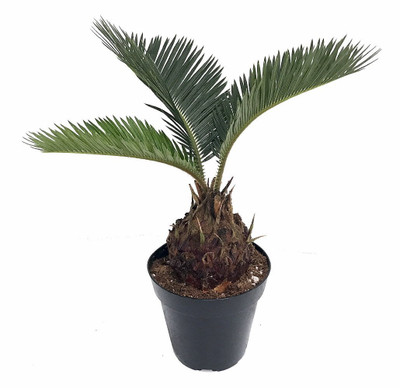 """Sago Palm - Living Fossil Plant - Cycas revoluta - 4"""" pot"""