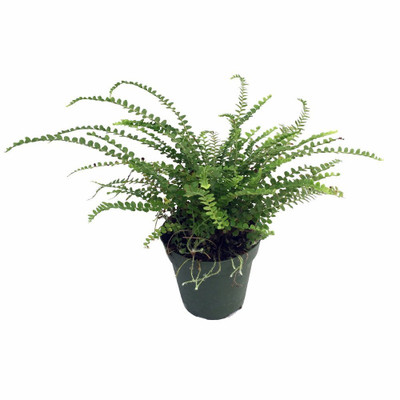 "Lemon Button Fern - 3.5"" Pot - Nephrolepis cordifolia Duffii - Live Plant"