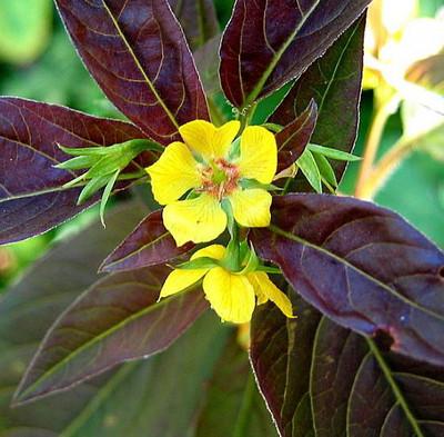Firecracker Loosestrife Perennial - Lysimachia - Live Plant - Quart Pot