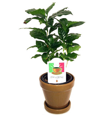 "Arabica Coffee Bean Plant - 4"" Pot with Glazed Ceramic Pot & Saucer"