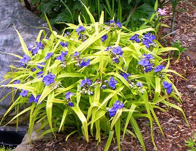 Sweet Kate Blue & Gold Spiderwort - Tradescantia - Live Plant - Quart Pot