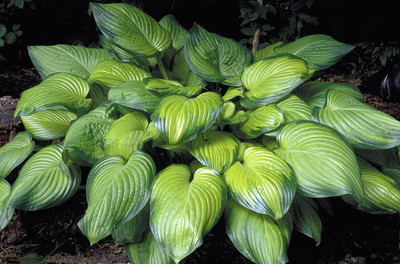 Guacamole Hosta - HOSTA OF THE YEAR 2002 - Live Plant - Quart Pot