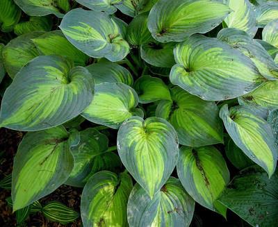 June Hosta - Hosta of the Year 2001 - Blue/Green Edges - Live Plant - Quart Pot