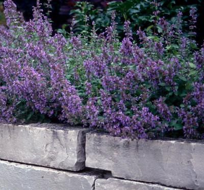 Dropmore Catmint Perennial - Nepeta - Quart Pot