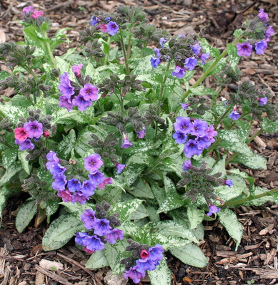 Diane Claire Pulmonaria Plant - Lungwort - SHADE - Gallon Pot