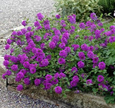 Homestead Purple Verbena - Glandularia - Quart Pot