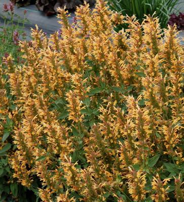 Gold Kudos Hummingbird Mint - Agastache - Anise Hyssop - Live Plant - Quart Pot