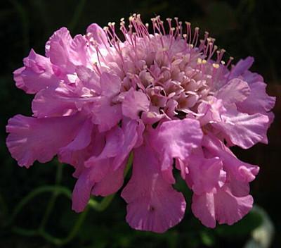 Pink Mist Pincushion Flower - Scabiosa - Long Blooming - Quart Pot