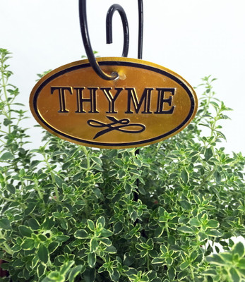 "Lemon Thyme Plant - Smells/Tastes Like Lemon - 6"" Pot"