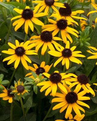 Little Goldstar Black-Eyed Susan - Rudbeckia - Live Plant - Gallon Pot