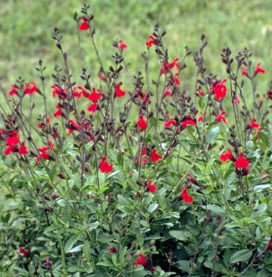 "Autumn Cherry Chief Sage - Salvia greggii - Live Plant - 3"" Pot"