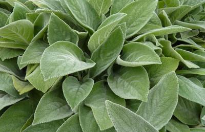 Big Ears Lamb's Ear Perennial - Stachys byzantina - Live Plant - Quart Pot