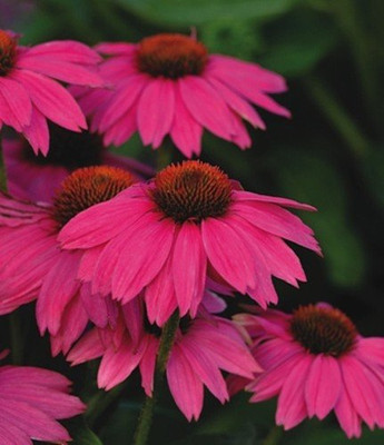 Pow Wow Wild Berry Coneflower - Echinacea - Quart Pot