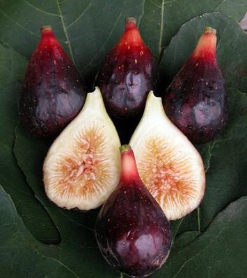 """LSU Purple Edible Fig Plant - Ficus carica - Sweet - 2.5"""" Pot"""