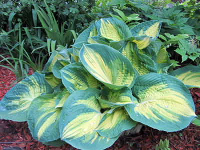 Dream Weaver Hosta - NEW - Live Plant - Quart Pot