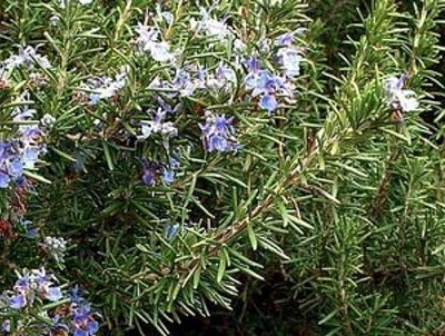 "Arp Rosemary Plant - Cold Hardy - Live Plant - 4"" Pot"