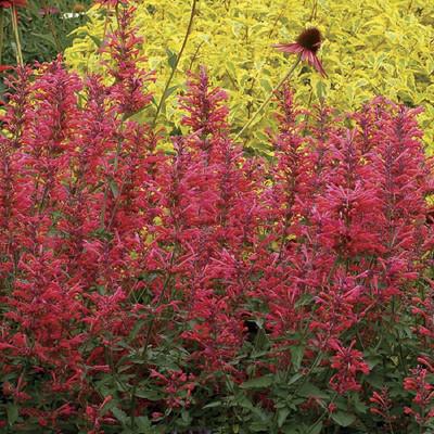 Coral Kudos Hummingbird Mint - Agastache - Anise Hyssop -Live Plant- Gallon Pot