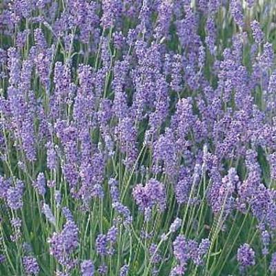 """Lady Lavender  - Good Scents - Live Plant - 3"""" Pot"""