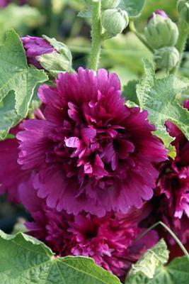 Queeny Purple Hollyhock - Perennial - Alcea - Very Dwarf - Quart Pot