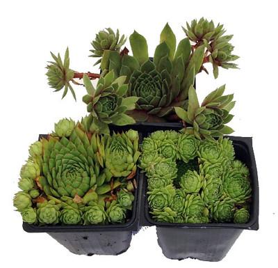 "Hens & Chicks Collection 3 Live Plants -Sempervivum - Indoors or Out - 3"" Pots"