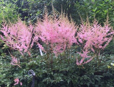 Hennie Graafland Astilbe - Stunning Pink - Very Hardy! - Gallon Pot