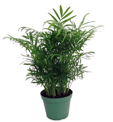 """Hirt's Victorian Parlor Palm - Chamaedorea  - 6"""" Pot"""