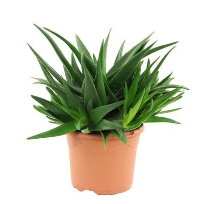 "Haworthia  pentagona - Easy to grow/Hard to kill Succulent House Plant - 4"" Pot"