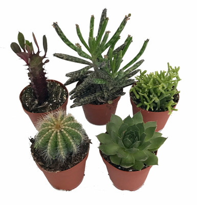 "Instant Cactus/Succulent Collection - 5 Plants -Terrarium/Fairy Garden- 2"" pots"