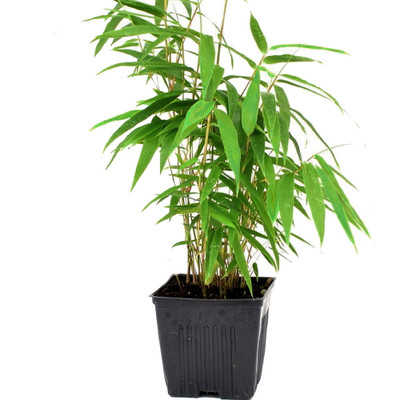 "Green Panda Bamboo - Bamboo - Fargesia robusta - Grow Indoors/Out - 4"" Pot"