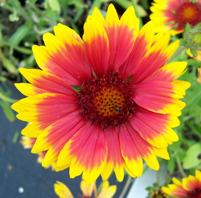 Dazzler Blanket Flower - Gaillardia - Quart Pot