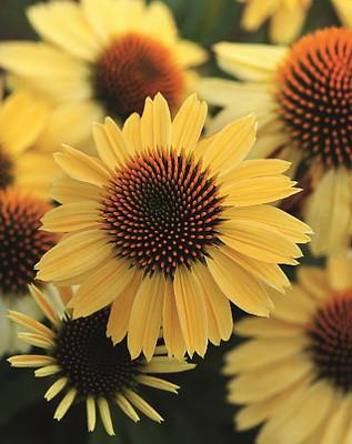 Sombrero™ Lemon Yellow Coneflower Perennial - Echinacea - Gallon Pot
