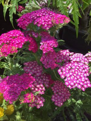 New Vintage Violet Yarrow - Achillea - Sun Lover - Gallon Pot