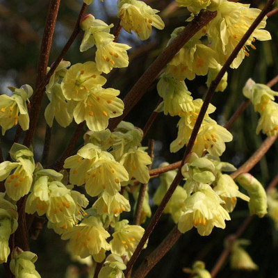 "Buttercup Winter Hazel - Corylopsis pauciflora -Blooms before Forsythia - 4"" Pot"
