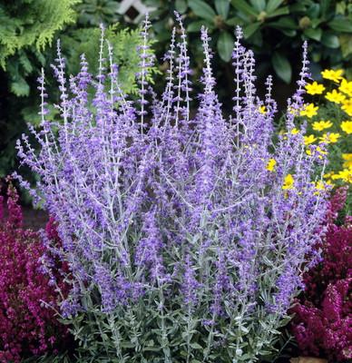 Little Spire Russian Sage Live Plant - Perovskia - Live Plant - Gallon Pot