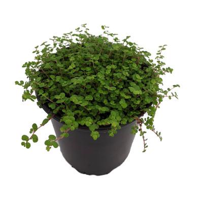 "Baby Tears Plant - 3.5"" Pot - Helxine - Terrarium/Fairy Garden"