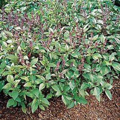 "Cinnamon Basil Herb - 3"" Pot"