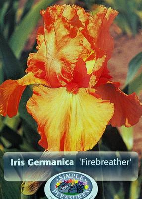 German Bearded Iris Fire Breather - Bright Orange - Top Size Root